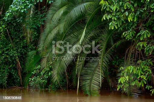 istock Tropical Forest at the shoreline af a river in the rainforest 1308290845