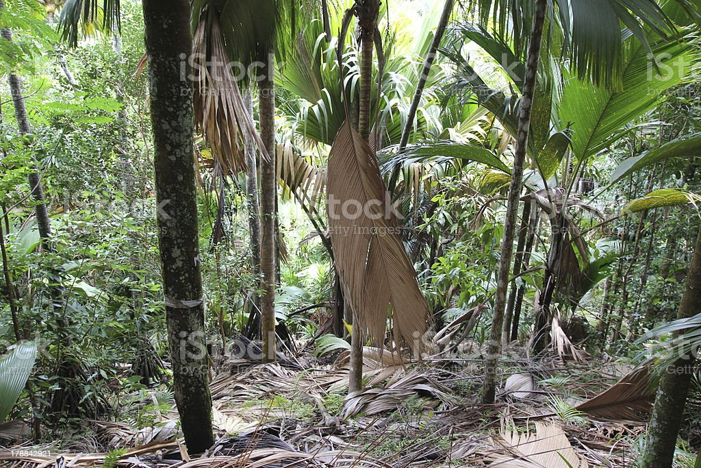 Carta Da Parati Foresta Tropicale : Foresta tropicale vallée de mai isola di praslin seychelles foto di