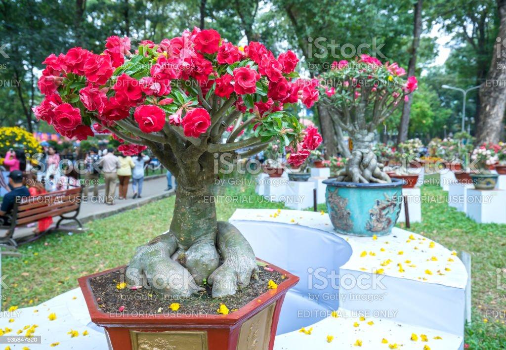 Tropischen Frangipani Blumen blühen im Frühlingsfestival – Foto