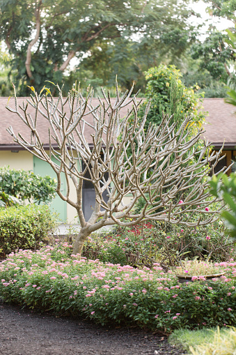 Tropical Frangipani Plant