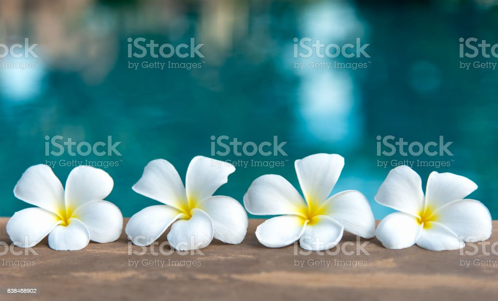 Tropical frangipani white flower near the swimming pool, flower spa. Copy space. stock photo