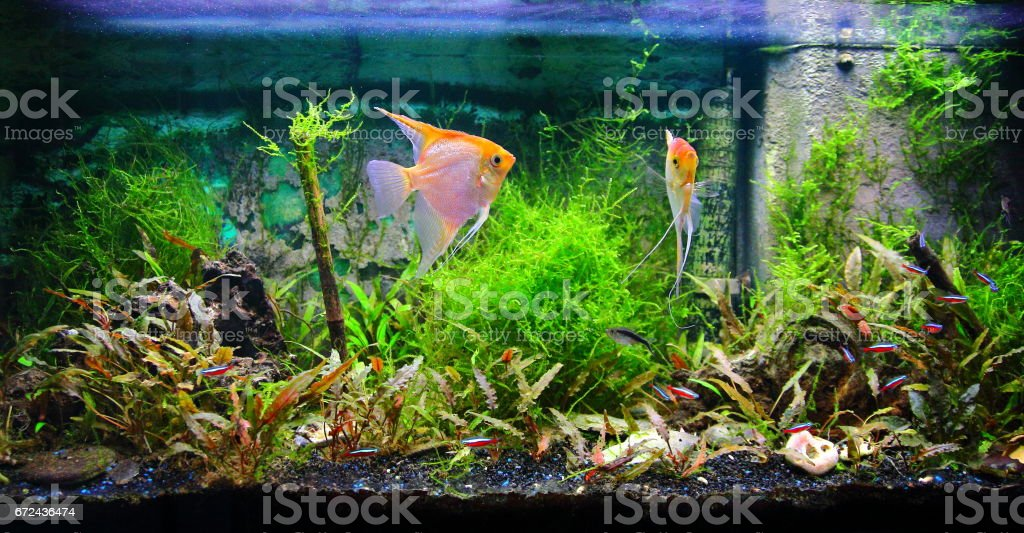 Tropical fresh water aquarium front view with lush foliage plants and some fishes yellow Pterophyllum Scalare and Cardinalis neon – Foto
