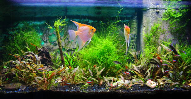 tropical fresh water aquarium front view with lush foliage plants and some fishes yellow pterophyllum scalare and cardinalis neon - home aquarium stock photos and pictures