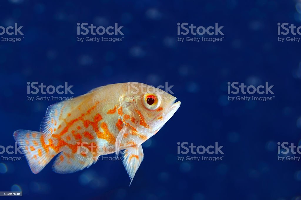 Tropical Fresh Water Fish royalty-free stock photo