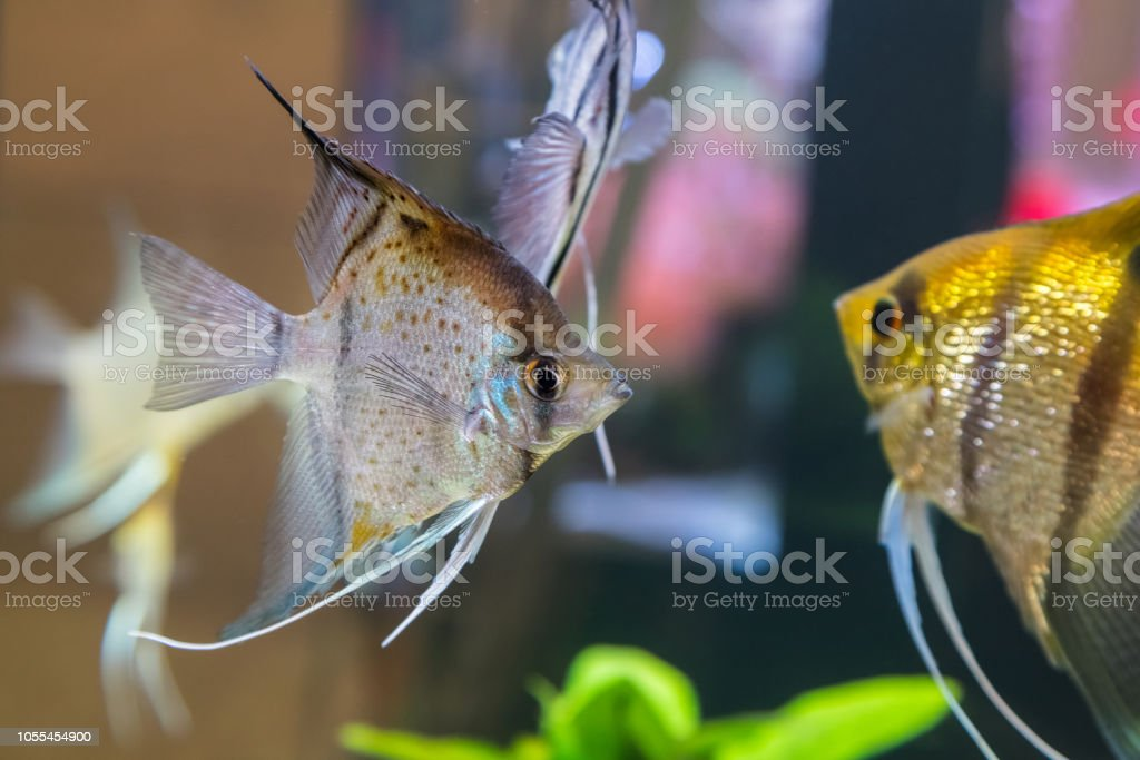 Tropical Freshwater Aquarium With Colourful Fish And Green Plants