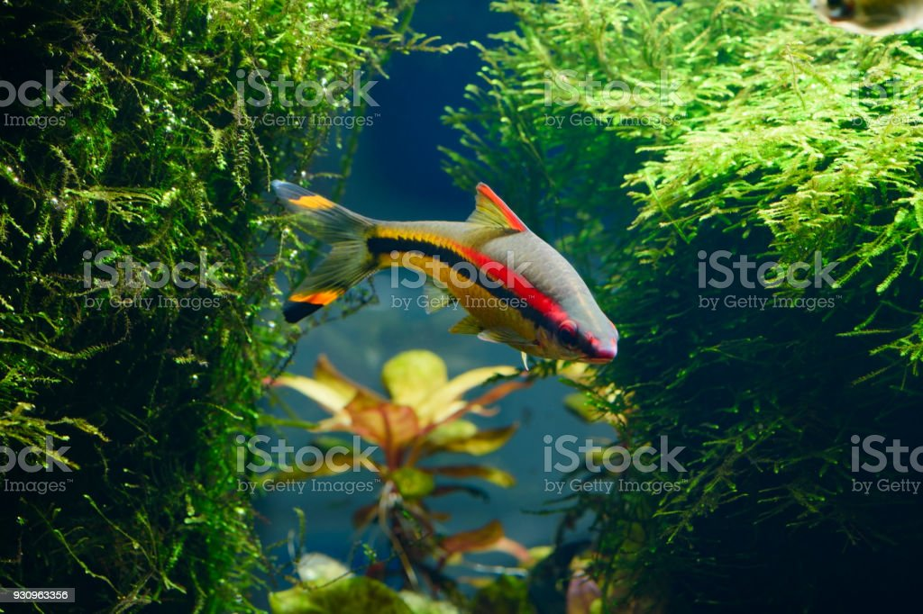 Tropical freshwater fish Denison's Barbs (Puntius denisonii) stock photo