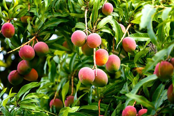 frutas tropicales-maduro mangoes crece en los árboles - mango fotografías e imágenes de stock