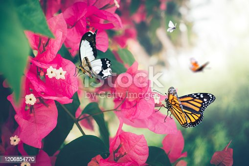 Pink bougainvillea flowers with butterflies.