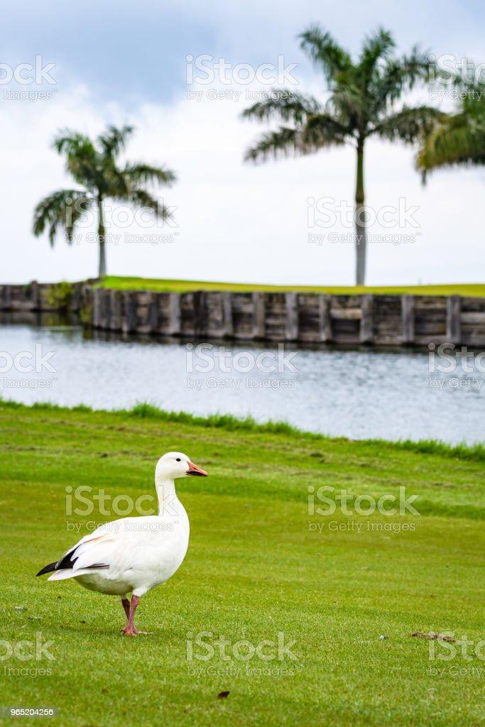 Tropical Golf zbiór zdjęć royalty-free