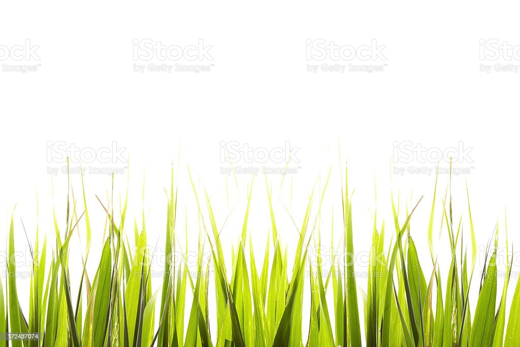 Tropical grass isolated on white background royalty-free stock photo