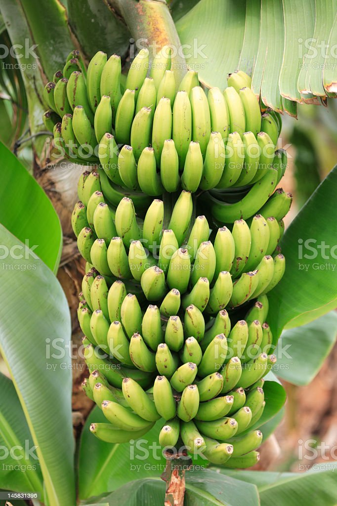 Tropical green bananas growing on tree stock photo