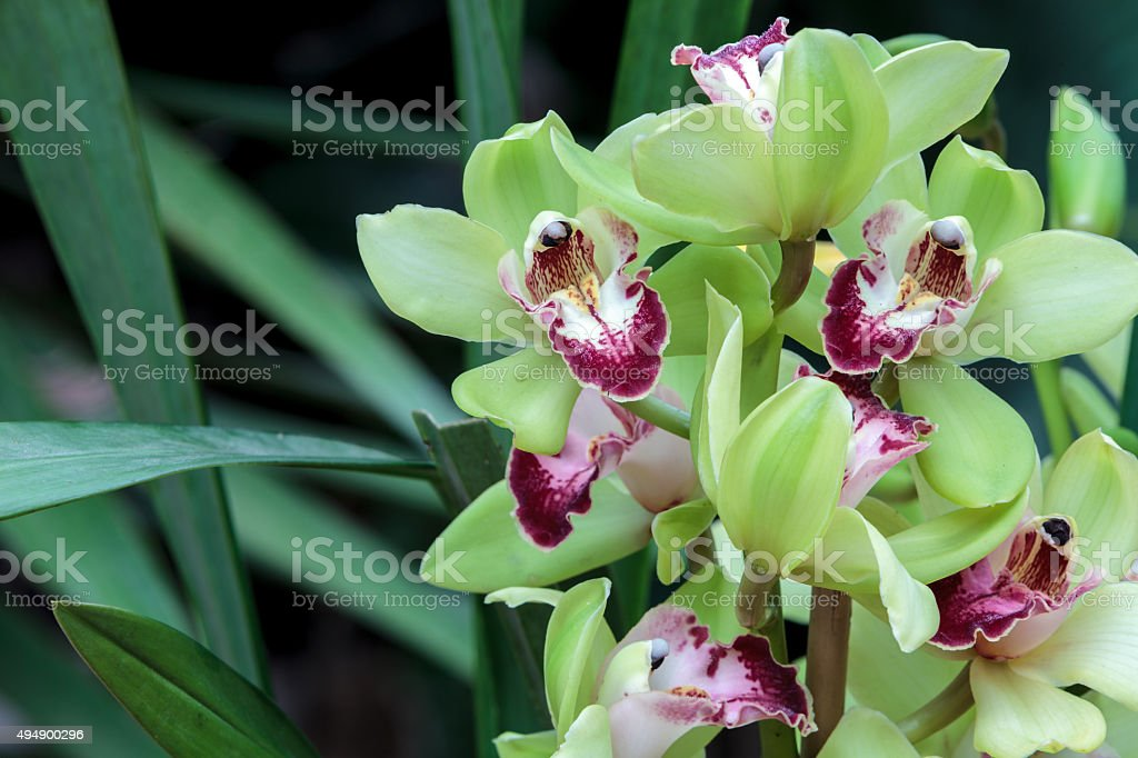 Tropical green Cymbidium orchid stock photo