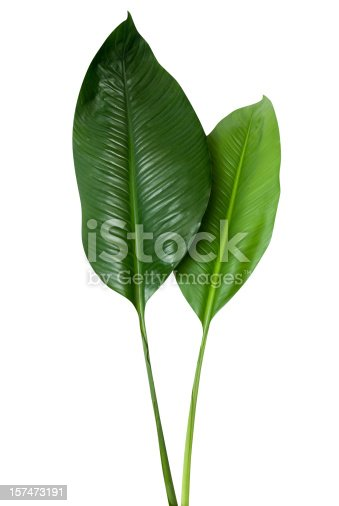 Two associated leaves isolated on white with a clipping path.