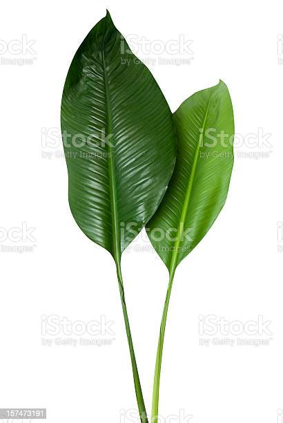 Tropical green leaf isolated on white with clipping path picture id157473191?b=1&k=6&m=157473191&s=612x612&h=b6 v2gwzmohwhpzryq1bgzz gmjeafv96rtd1lbexai=