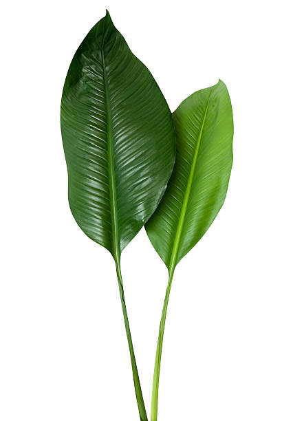 tropical green leaf isolated on white with clipping path - tropical leaves stock photos and pictures