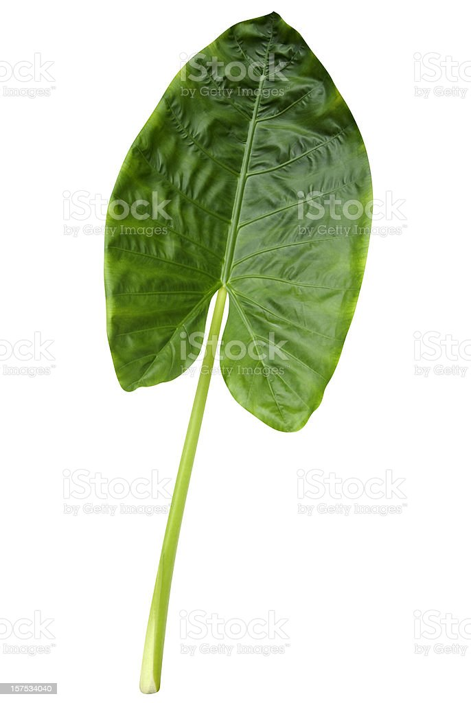 Tropical green leaf isolated on white with clipping path royalty-free stock photo