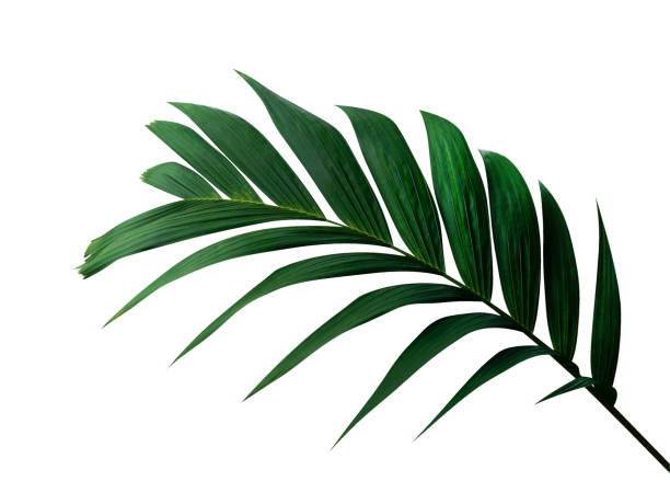 tropical green leaf palm plant isolated on white background, clipping path included - до свидания стоковые фото и изображения