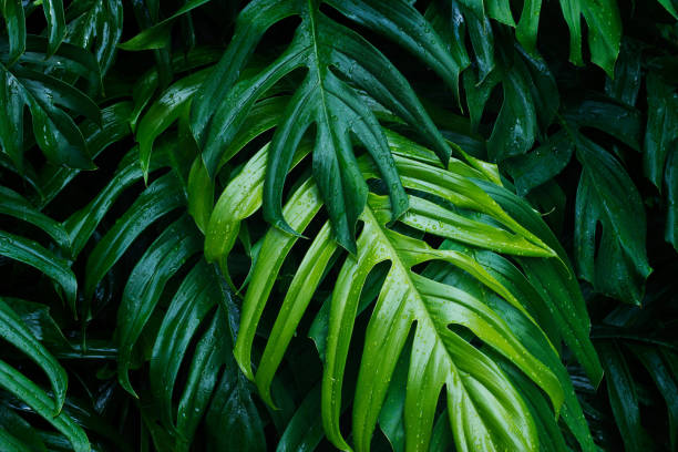tropical green leaves after the rain on dark background, nature summer forest plant concept - hawaiian flowers stock photos and pictures