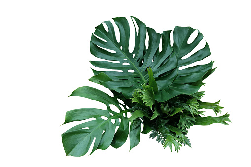 Tropical green leaves forest plant Monstera, fern, and climbing bird\