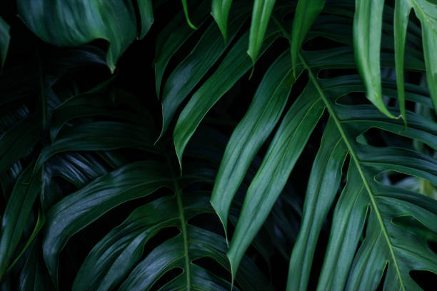 tropical green leaves on dark background, nature summer forest plant concept - lush foliage stock pictures, royalty-free photos & images