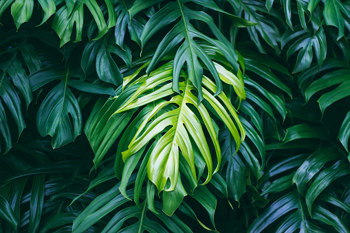 istock Tropical green leaves on dark background, nature summer forest plant concept 846216850