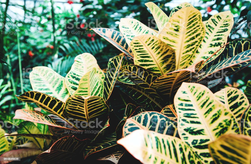 Tropical green leaves on dark background royalty-free stock photo