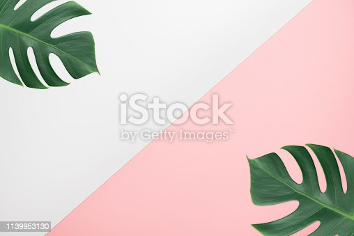 Tropical green monstera leaves nature on pink and white background for copy space
