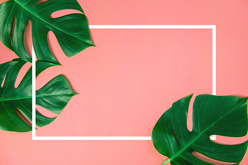 istock Tropical green monstera leaves nature on pink background with frame design for copy space 951997754