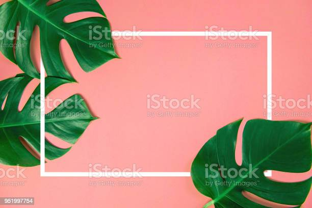 Tropical green monstera leaves nature on pink background with frame picture id951997754?b=1&k=6&m=951997754&s=612x612&h=gotqezcuvnjx9j4tjhoeb2a gwsvf86e0 khftzx19i=