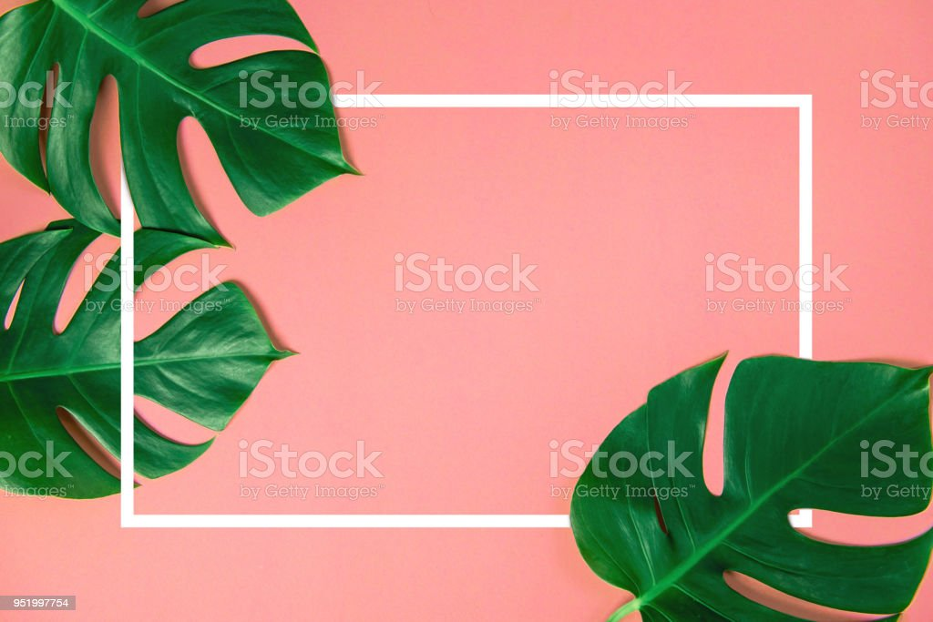 Tropical green monstera leaves nature on pink background with frame design for copy space stock photo