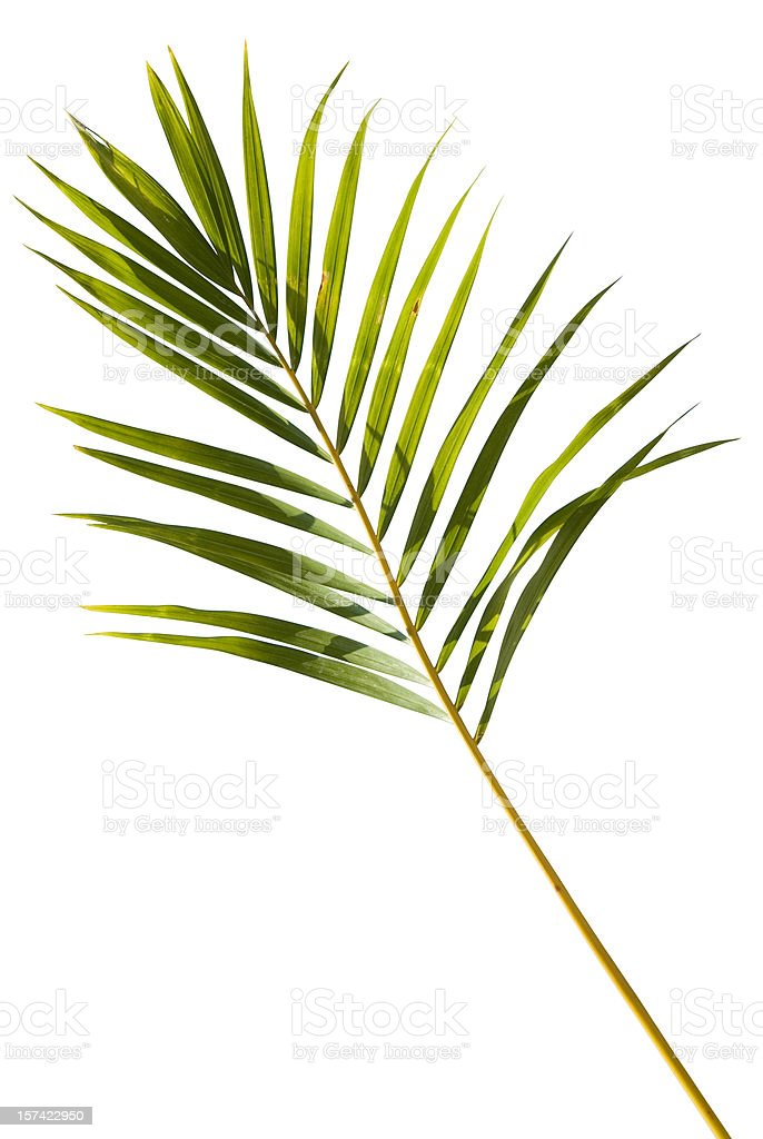 Tropical green palm leaf isolated on white with clipping path stock photo