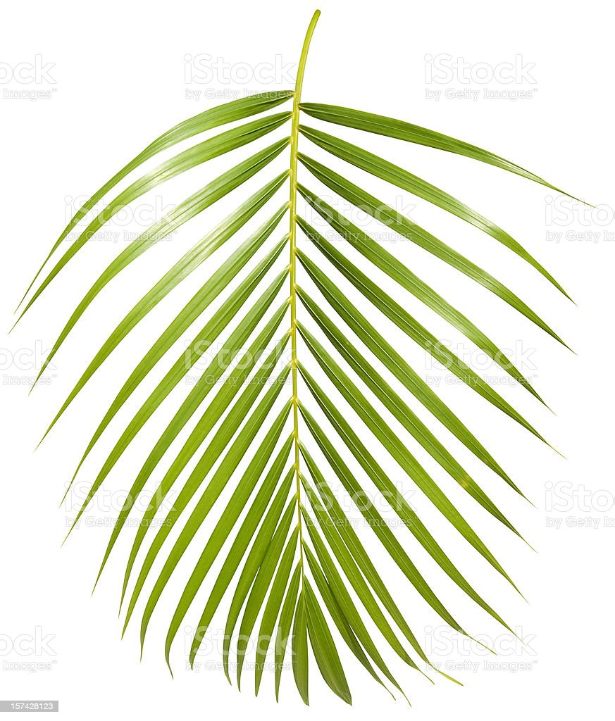 Tropical green palm leaf isolated on white with clipping path royalty-free stock photo