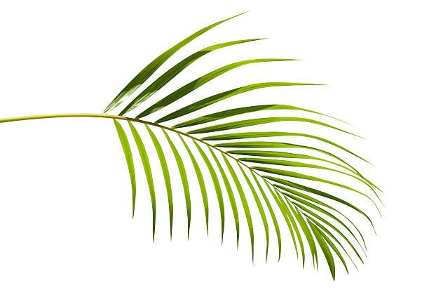 tropical green palm leaf isolated on white with clipping path - palm bildbanksfoton och bilder