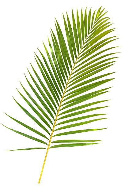 열대 버처 팜형 잎 흰색 바탕에 그림자와 함께 클리핑 경로를 - 야자 나무 arecales 뉴스 사진 이미지