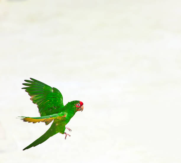 tropical green parrot - green winged macaw stock photos and pictures