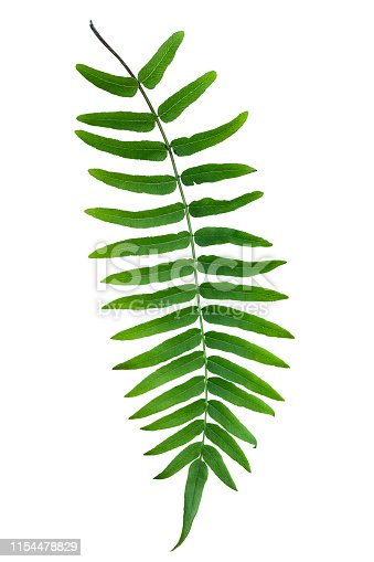 Isolated on a pure white background and with a clipping path provided to make an easy selection, this design element is a tropical fern that grows mostly in Asia.