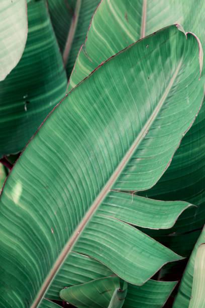 Tropischer Grünhintergrund. Dickicht von Palmen mit großen Blättern. Dschungeljade-Farbe. Schöne botanische Kulisse Tapete Muster. Plakatvorlage mit Kopierplatz – Foto