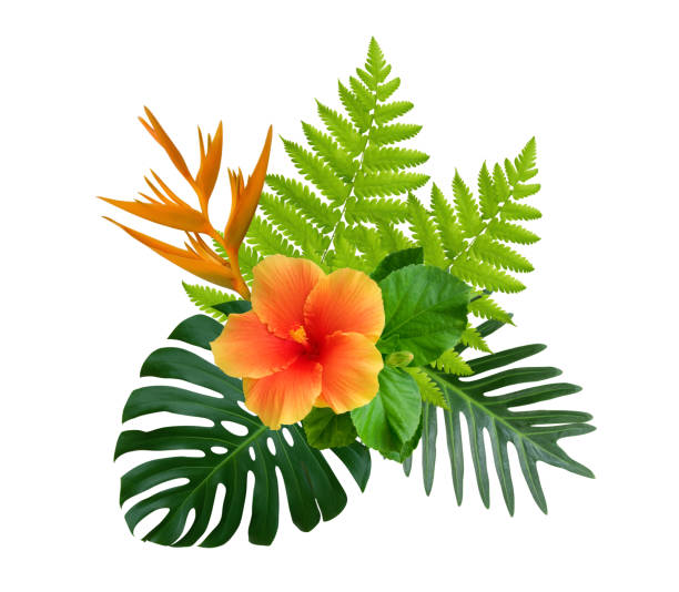 hibisco tropical e flores de strelitzia reginae monstera verde e arbusto de planta de folhas de samambaia isolado no fundo branco - flor tropical - fotografias e filmes do acervo