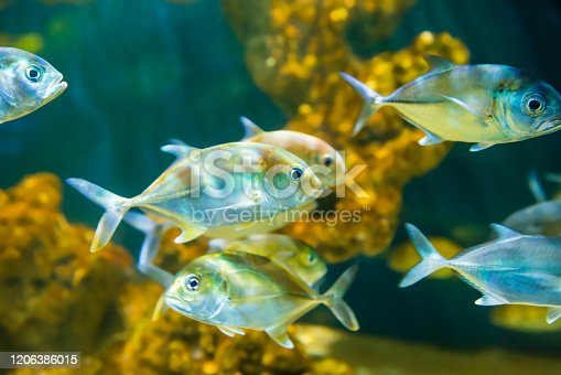 Tropical horse-eye jack (Caranx latus) fishes in aquarium as nature underwater sea life background
