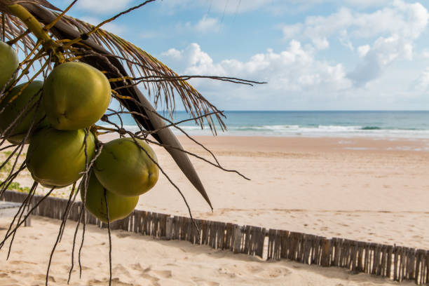 Tropical island beach scene in Mozambique with coconuts hanging in the tree stock photo