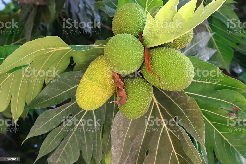 Tropical Jackfruit Bread Fruit Tree stock photo
