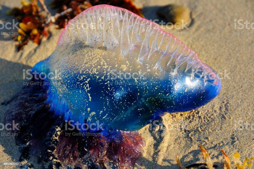 Tropical jellyfish - Physalia physalis stock photo