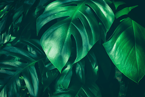 tropical jungle leaf