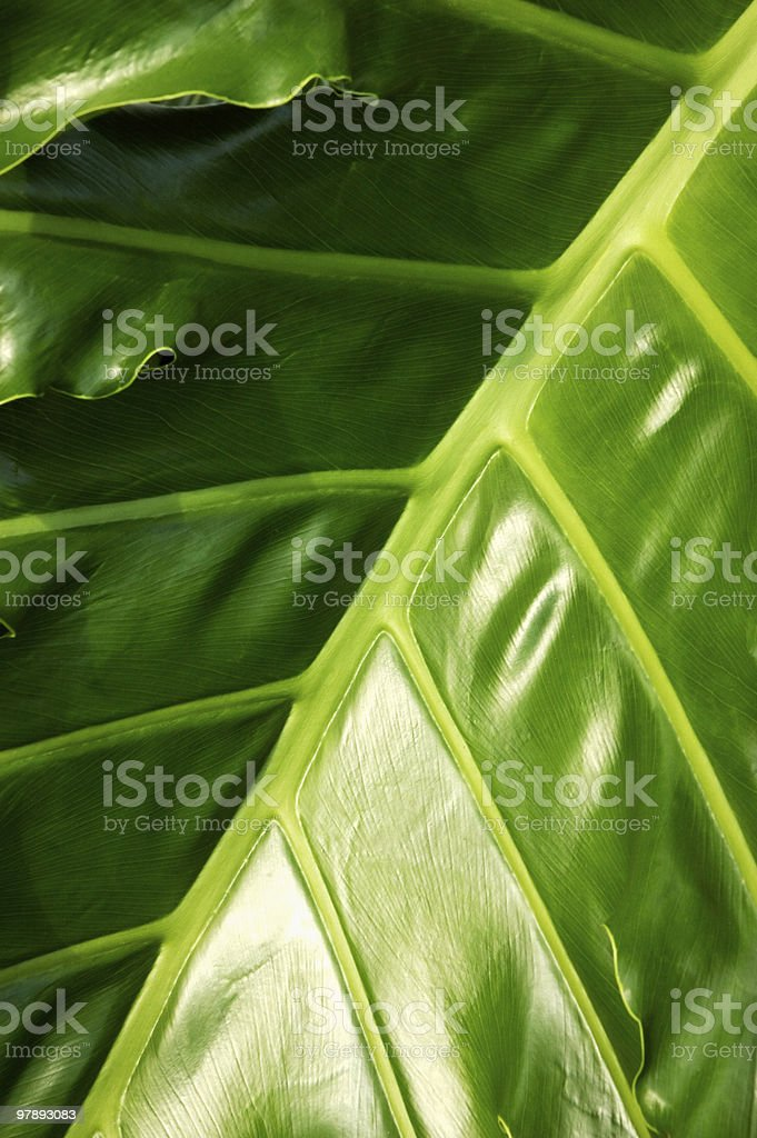 Tropical Jungle Leaf royalty-free stock photo