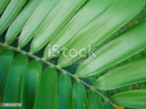 909846922 istock photo Tropical jungle palm leaf in garden 1062926734