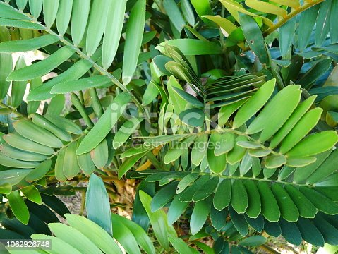 909846922 istock photo Tropical jungle palm leaf in garden 1062926748