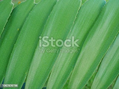 909846922 istock photo Tropical jungle palm leaf in garden 1062926756