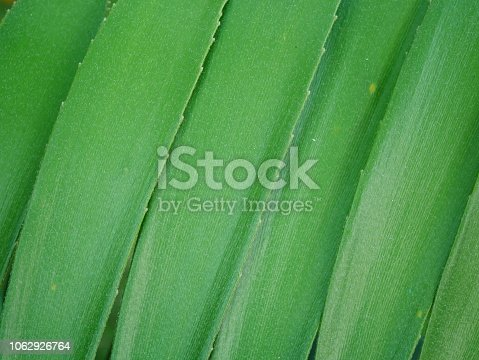 909846922istockphoto Tropical jungle palm leaf in garden 1062926764