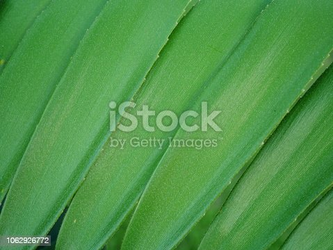 909846922 istock photo Tropical jungle palm leaf in garden 1062926772