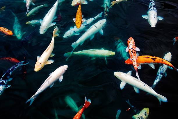 Tropical Koi Fish stock photo